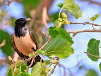 Rose-coloured Starling _M2A8152 copy