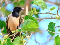 Rose-coloured Starling _M2A8156