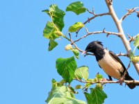 Rose-coloured Starling_M2A8080