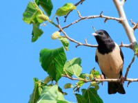 Rose-coloured Starling_M2A8094