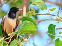 Rose-coloured Starling_M2A8156