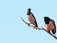 Rosy Starling _M2A8691