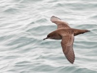 Short-tailed Shearwater _J4X6944 copy