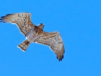 Short-toed Eagle _M2A0685