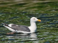 Slaty-backed Gull _M2A1603