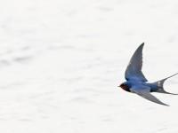Swallow _M2A6043