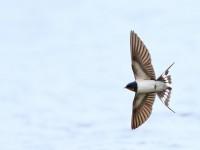 Swallow _M2A6198