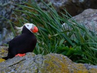 Tufted Puffin _M2A3362