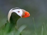 Tufted Puffin _M2A7618
