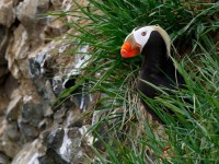 Tufted Puffin_M2A7648