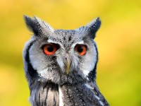 White-faced Scops Owl _M2A6519