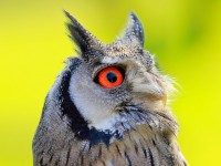 White-faced Scops Owl_M2A6491
