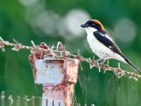 Woodchat Shrike _M2A9285 copy