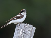 Woodchat Shrike _M2A9915