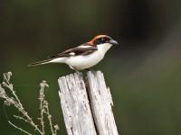 Woodchat Shrike _M2A9950