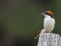 Woodchat Shrike _M2A9962
