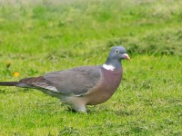 Woodpigeon _M2A6351 copy