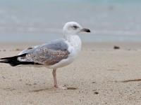 Yellow-legged Gull 2ndw_J4X3742