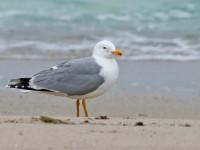 Yellow-legged Gull _J4X3595