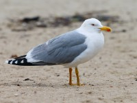 Yellow-legged Gull adult _J4X3755