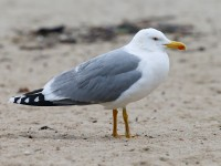 Yellow-legged Gull adult _J4X3758