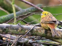 Yellowhammer _M2A2449