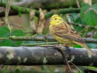 Yellowhammer _M2A2484 copy