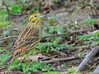 Yellowhammer _M2A2967