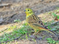 Yellowhammer _M2A3004