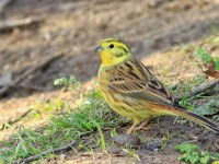 Yellowhammer _M2A3015 copy
