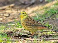 Yellowhammer _M2A3026 copy