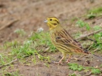 Yellowhammer _M2A3048 copy