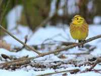 Yellowhammer _M2A4722
