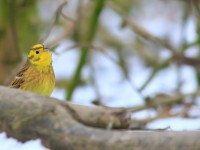 Yellowhammer _M2A4733