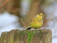 Yellowhammer _M2A4756 copy