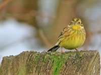Yellowhammer _M2A4767 copy