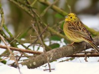 Yellowhammer _M2A4793 copy