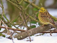 Yellowhammer _M2A4794 copy