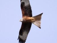 04-102010-red-kite