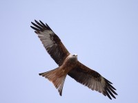 04-102010red-kite