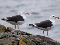 04-172010great-black-backed-gull