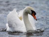 08-282010mute-swan