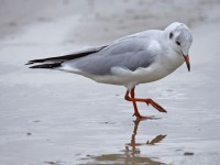 09-102010black-headed-gull