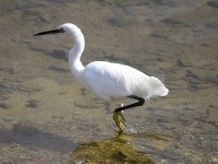 09-122010little-egret