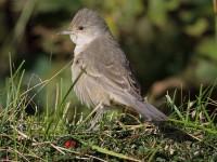 09-272010barred-warbler