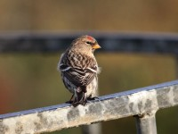 09-282010mealy-redpoll