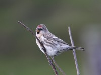 09-292010mealy-redpoll