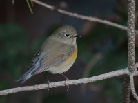 10-232010red-flanked-bluetail