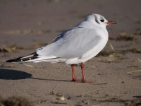 11-072010black-headed-gull
