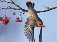 12-052010waxwing-birding-worldmg_0151-1126430000-650_2-3